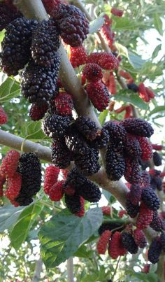 Fruits And Vegetables Pictures, Vegetable Pictures, Fresh Fruits And Vegetables, Fruit And Veg, Fruit Plants, Fruit Garden, Fruit Trees, Exotic Fruit, Tropical Fruits