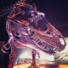 "Instagram / @treenabean's photo: ""#dinosaur #dinosaurbones #trex #tyrannosaurus"" #hmnspaleo"
