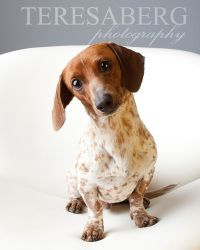 Bogart is an adoptable Dachshund Dog in Colleyville, TX. UPDATE: Bogart has made great strides in his foster home. He goes on many outings to the dog park, visiting friends and joining his foster pare...
