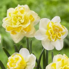 Snow White and Lemon Yellow Daffodil Narcissus Double Wave / Sweet Pomponette  #fallisforplanting