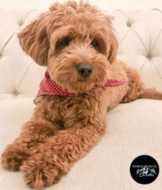 We are located in West Ogden Utah about a half hour from Salt Lake City and just a few hours from Idaho Colorado and Wyoming. We can deliver our puppies to you with our flight nanny service or you can pick them up here. Toy Goldendoodle, Bernedoodle Puppy, Goldendoodles, Ogden Utah, Group Of Dogs, Thing 1, Dog Boarding, Lake City, My Animal