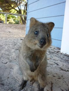 Quokka - the happiest animal in the world.   ...........click here to find out more     http://googydog.com