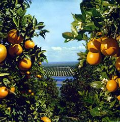 The Garden of Eaden: starting citrus seeds :) Vintage Florida, Old Florida, Premarital Counseling, Florida Oranges, Orange Grove, Oranges And Lemons, Growing Grapes, California Love, Garden Trees