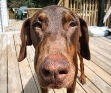 """These days """"Sit"""" doesn't cut it - Training your Doberman Puppy 