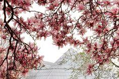 Magnolias & Sackler wing - Metropolitan Museum of Art photography ©2015 Marie Kotschedoff