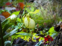 Cypripedium Ursel