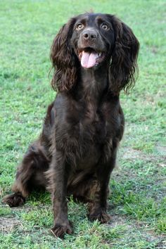Beautiful Boykin Spaniel Dog