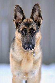 German shepherd yes I think I want one
