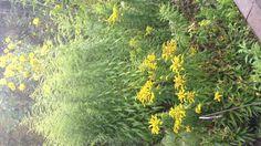 Tässä on uutta ja vanhaa lajiketta. Matalat kultapiiskut on jalostettu pysymään paremmin pystyssä ja kukkivat aikaisemmin.
