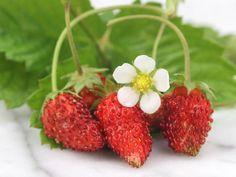 Red Wonder Wild Strawberry  | Baker Creek Heirloom Seed Co Love Alpine Strawberries