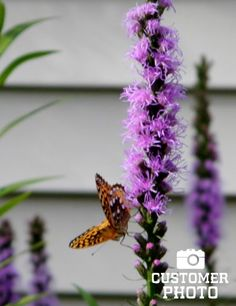 Liatris, also known as Blazing Star or Gayfeather, is a plant native to wide open prairies. Therefore, they are extremely tolerant of drought conditions and the hot summer sun. Add this hardy perennial to your garden and get ready to do some butterfly watching! Also use the vibrant purple spikes to add interest to a summer bouquet!