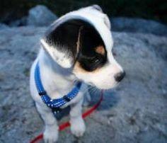 jack russell dachshund mix