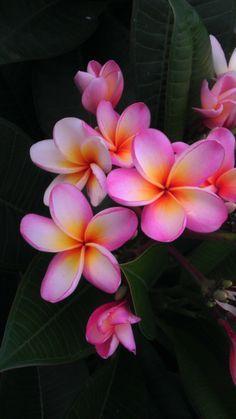 plumeria gold coast peachy - Google Search