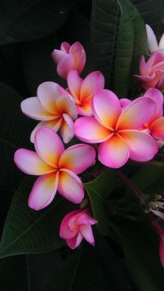 plumeria gold coast peachy - Google Search