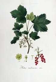 Hageribs -ribes rubrum - Edible berries+ leaves