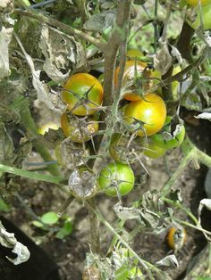 Tomato Leaf Problems: A Visual Guide Dry papery leaves & white moldy growth: Image of symptoms of late blight on tomato Tips For Growing Tomatoes, Growing Tomato Plants, Growing Tomatoes In Containers, Grow Tomatoes, Cherry Tomatoes, Garden Tomatoes, Baby Tomatoes, Fruit Garden, Compost