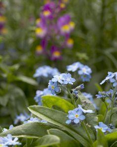 Myosotis sylvatica - Das schönste Blau an Frühlingstagen • Blumen & Pflanzen Blog • 99Roots.com