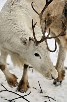 Cute little white reindeer :D :D :D Beautiful Creatures, Animals Beautiful, Cute Animals, Beautiful Beautiful, Baby Animals, Mundo Animal, Tier Fotos, All Gods Creatures, Nature Animals