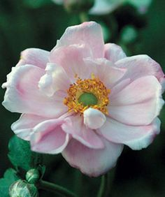 How to grow fall-blooming anemones