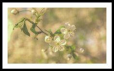 Anna Matveeva Beautiful Cherry Blossom Close Up Photographers  Blur Framed Print featuring the photograph Beautiful Cherry Blossom Close Up by Anna Matveeva  AnnaMatveeva #FineArtPhotography #ArtForHome #FineArtPrints #Cherry