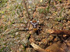 Mitobatinae, Gonyleptidae. Ibiá, Minas Gerais, Brazil.