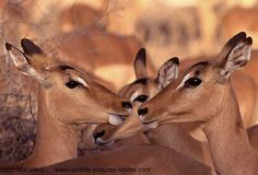 Close-up of Impala ewes (Aepyceros melampus) in warm afternoon light, Kruger National Park, South Africa.  © Scotch Macaskill