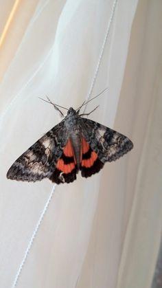 Ленточница тополёвая, бабочка