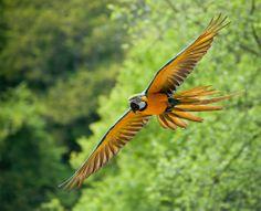 Flying at Zoo de Pont-Scorff, Morbihan, France.
