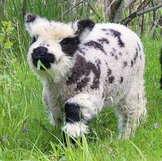 -Largeandmelodious: - The Happy Cottage Valais Blacknose Lamb This sable is preposterously cute. Tierisch lustig( incredible) ~ s a l l y y c i n n a a m o n ~ 𝚝 𝚎 𝚗 · 𝚍 𝚎 𝚛 FAIR YETI Cute Baby Cow, Baby Cows, Cute Cows, Cute Babies, Baby Elephants, Fluffy Cows, Fluffy Animals, Animals And Pets, Wild Animals