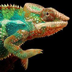 Hi! by Mark Bridger #chameleon