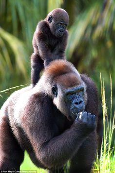 Desktop App that shows you funny and cute animal pictures every time you open up a new tab on your browser. Primates, Mammals, Rare Animals, Animals And Pets, Strange Animals, Fluffy Animals, Cute Baby Animals, Regard Animal, Silverback Gorilla