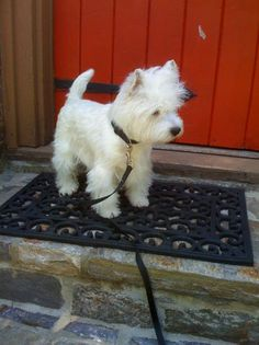 I want a Westie!!!