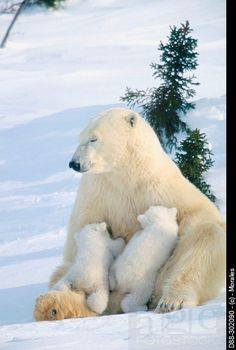 Polar bear and cubs (Ursus maritimus)