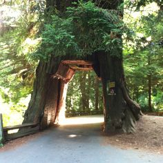 Redwood forest in northern California, where the highway runs through a tree.