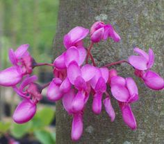 Flowers of the Judas tree growing from the trunk