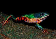 Orange-legged leaf frog.  spectacular colourings, patterns & markings!