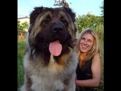the world biggest dogs new 2013 extreme huge big dogs guinness