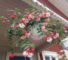"""47 gilla-markeringar, 10 kommentarer - Caroline (@caroline_pa_landet) på Instagram: """"Överlevare från förra sommaren #trädgård #blommor #garden #flowers #sensommar #summer…"""""""