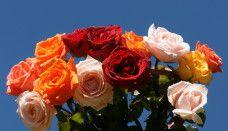 HD Rose Flower Wallpaper Hd Rose, Rose Flower Wallpaper, Flowers, Plants, Plant, Royal Icing Flowers, Flower, Florals, Floral