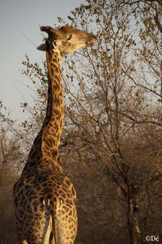 South Africa : giraffe eating