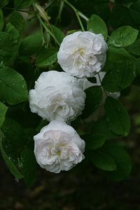 ~Damask Rose: Rosa 'Madame Zöetmans' (France, before 1846)~