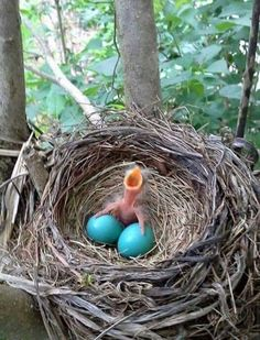 Baby bird, nest, and eggs, by Cindy Newsome Holley Pretty Birds, Love Birds, Beautiful Birds, Animals Beautiful, Animals Amazing, Pretty Animals, Beautiful Life, Cute Baby Animals, Animals And Pets