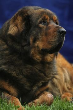 Alf, the Tibetan Mastiff