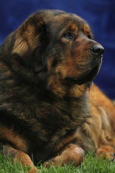 Alf, the Tibetan Mastiff