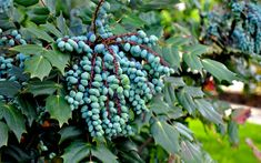 Leatherleaf Mahonia, also known as the Grapeberry Mahonia, is a very attractive shade-loving evergreen shrub with many special attributes.