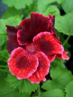 Geranium 'Rimfire' Pelargonium