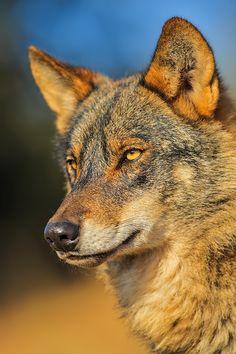 El lobo (Canis lupus) El doctor Félix Rodríguez de la Fuente realizó diferentes estudios para concretar la dieta del lobo ibérico en España, y según los resultados extraídos, esta podría estar compuesta por: grandes mamíferos (como jabalíes, corzos, muflones, ciervos...) en un 35 %, ovejas en un 24 %, conejos en un 14 %, ratones de campo en un 9 %, carroña un 7 %, reptiles y aves en un 5 %, insectos y vegetales un 4 %, y otros carnívoros (como zorros o perros) en un 2 %.