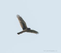 Northern Harrier ©Kevin Rutherford. Wild Bird Company - Boulder, CO, Saturday Morning Bird Walk in Boulder County - August 22, 2015