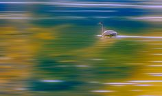 Swan in dream! by Aziz Nasuti on Swan, Waves, Fine Art, Outdoor, Painting, Swans, Outdoors, Painting Art, Outdoor Games