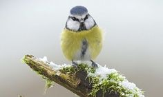A blue tit in the snow in Corwen, North Wales. Photograph: Richard Bowler/Rex Features